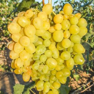 Виноград Супер Экстра изображение 2