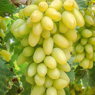 Виноград Тимур изображение 5