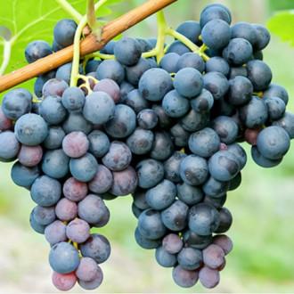 Виноград Триумф изображение 3