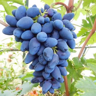 Виноград Викинг изображение 1