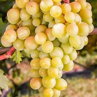 Виноград Восторг белый изображение 3