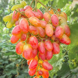 Виноград Золотой юбилей изображение 7