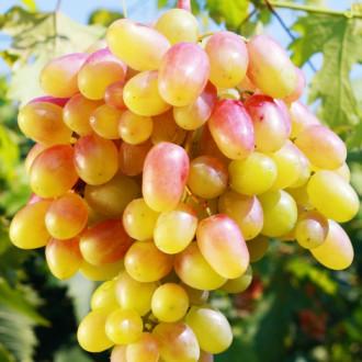 Виноград Золотой юбилей изображение 2