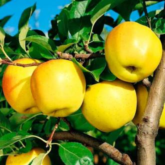 Яблоко-груша Голден Делишес изображение 7