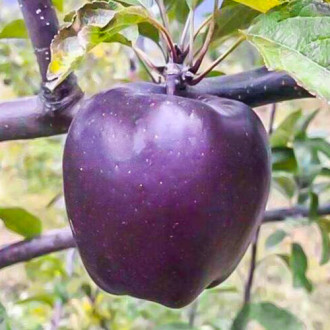 Яблоня Черный бриллиант изображение 2