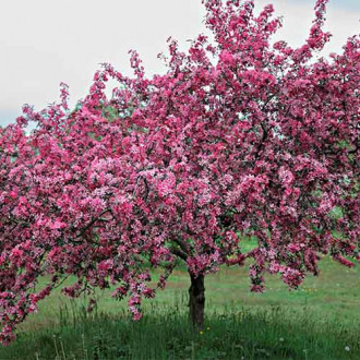 Яблоня декоративная Рудольф