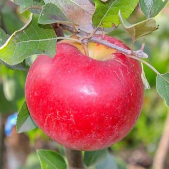 Яблоня Карамельная