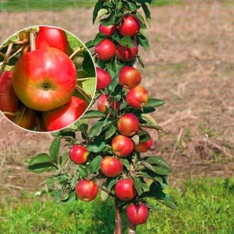 Яблоня колоновидная Элита изображение 6
