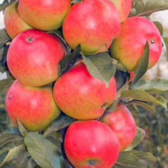 Яблоня колоновидная Валюта изображение 2