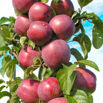 Яблоня колоновидная Виктория изображение 5