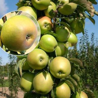 Яблоня колоновидная Янтарное ожерелье изображение 6
