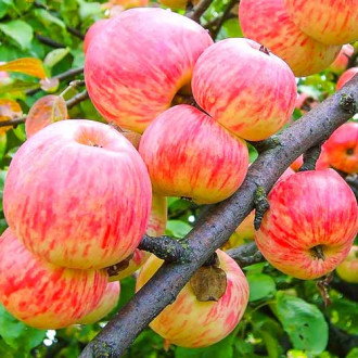 Яблоня Коричное полосатое изображение 7