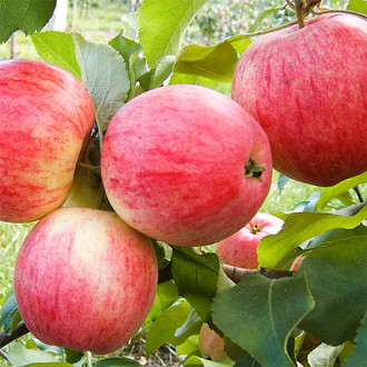 Яблоня Мельба изображение 5