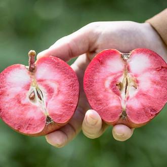 Яблоня Пинк Перпл изображение 2