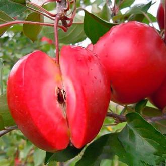 Яблоня Ред Чиф (красная мякоть)