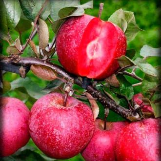 Яблоня Розовый жемчуг (красная мякоть) изображение 3