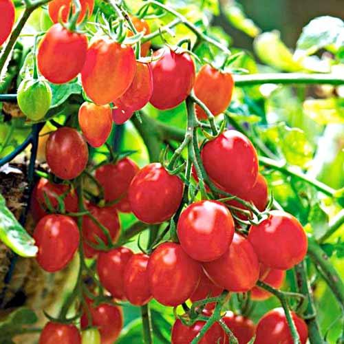 Томат-дерево Спрут сливка малиновая F1, семена изображение 1 артикул 65187