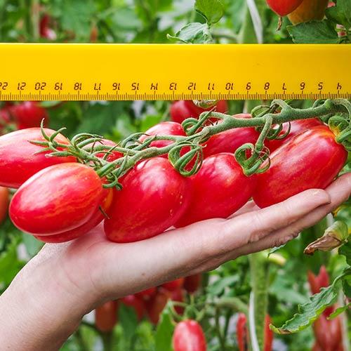 Томат Розовый Котя F1 изображение 1 артикул 73496