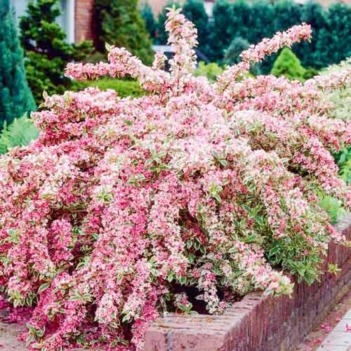 Вейгела цветущая Санни Принцесс изображение 1 артикул 9016