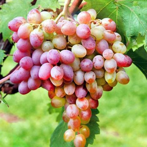 Виноград Ливия изображение 1 артикул 7672