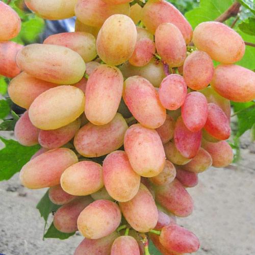 Виноград Сенсация изображение 1 артикул 7326