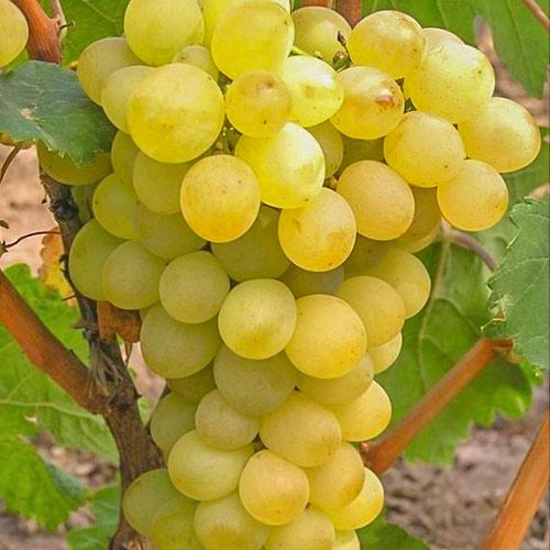 Виноград Триумф изображение 1 артикул 7328