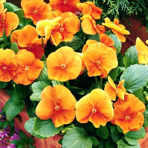 Виола Витторка Динамит оранжевая F1, семена изображение 1 артикул 65780