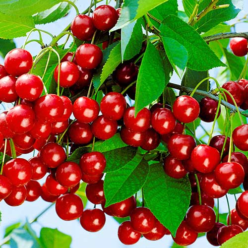 Вишня Уральская рубиновая изображение 1 артикул 7499