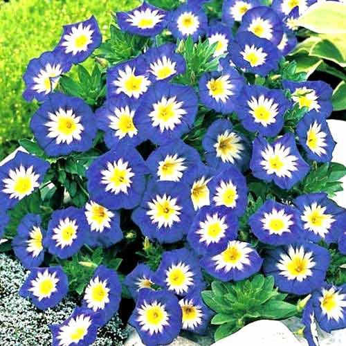 Вьюнок трехцветный Голубой изображение 1 артикул 65946