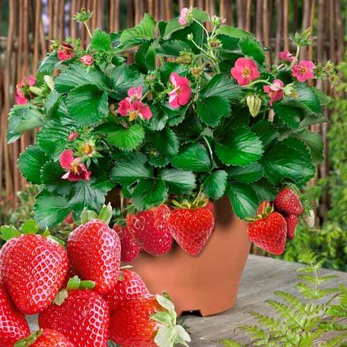 Земляника Розовая мечта изображение 1 артикул 65270