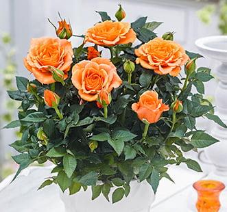 Розы чайно-гибридные