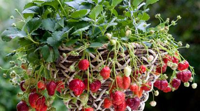 Какой сорт клубники можно выращивать на подоконнике