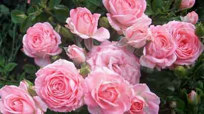 Розы без шипов сорта