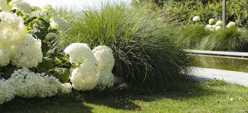 декоративные травы и гортензии