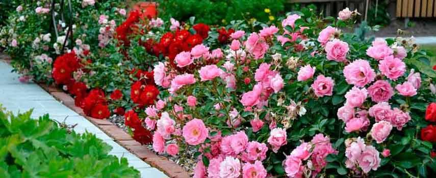 правильное место для посадки роз